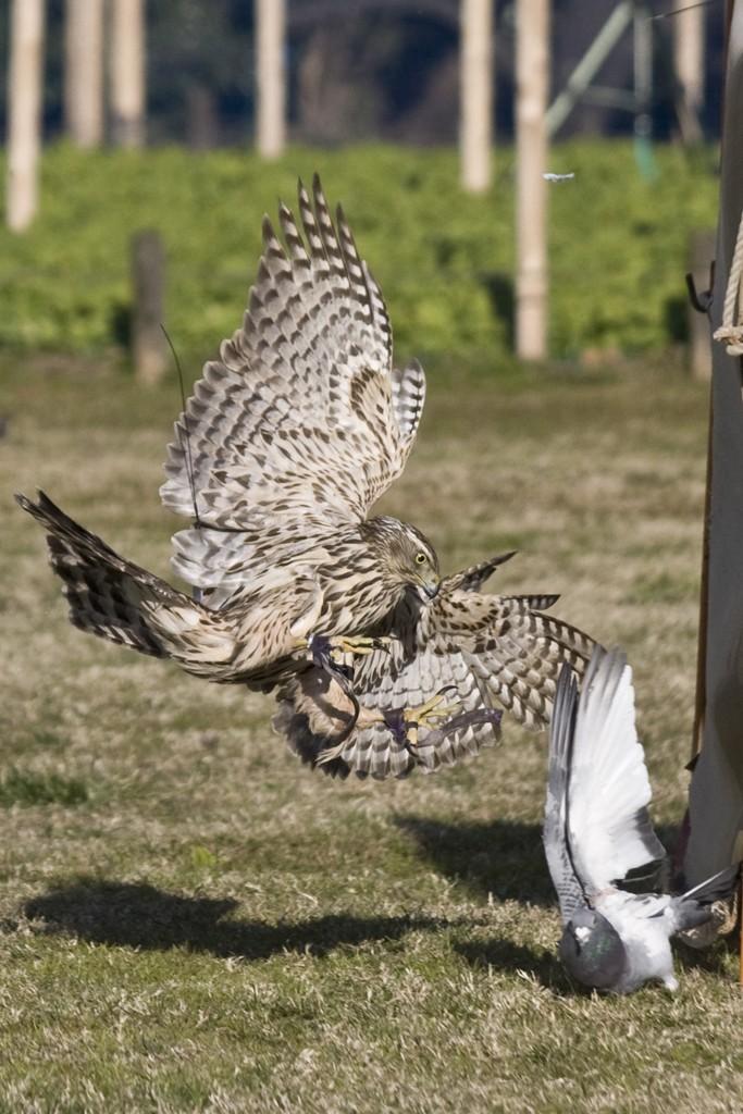 falconer4