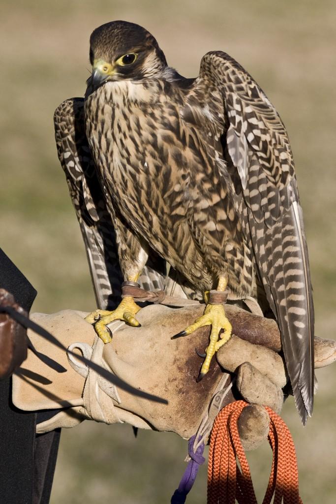falconer7