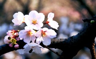 Cherry Blossoms vs. Plum Blossoms