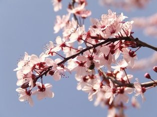 cherry-plum blossoms